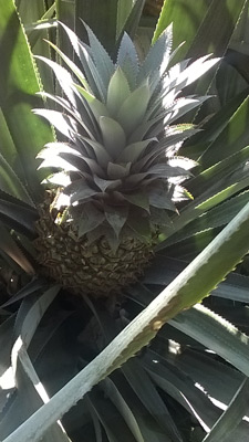 Pineapple plant growing in the ground
