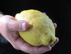 Ever seen one larger than this Amalfi lemon?