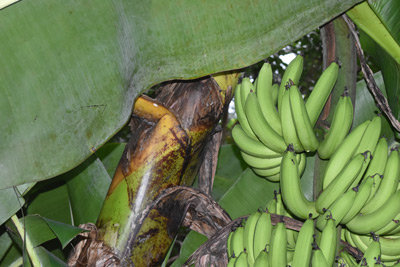 Bananas grow upwards